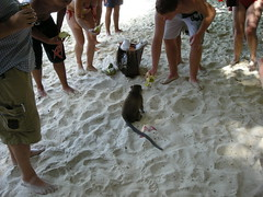 47 scimmia a monkey beach 2