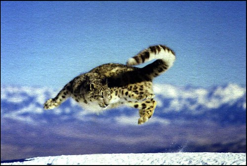 Courtesy Snow Leopard Trust