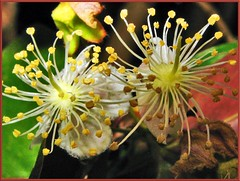Surinam cherry flower (Eugenia uniflora) (Gabriella Hal) Tags: flowers nature masterphotos