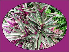 Tradescantia spathacea 'Hawaiian Dwarf' or Variegated Oyster Plant' at our garden bed, shot Feb 17, 2008