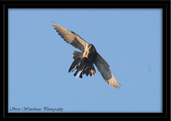 PEREGRINE FALCON WITH A CATCH (1000 MM LENS HAND HELD) (spw6156) Tags: copyright lens woods hand with steve falcon catch mm held nationaltrust 1000 falcons raptors waterhouse peregrine plymbridge a ysplix cannquarry natureselegantshots spw6156 stevewaterhouse plymperegrineproject plymbridgeperegrinefalcons copyrightstevewaterhouse