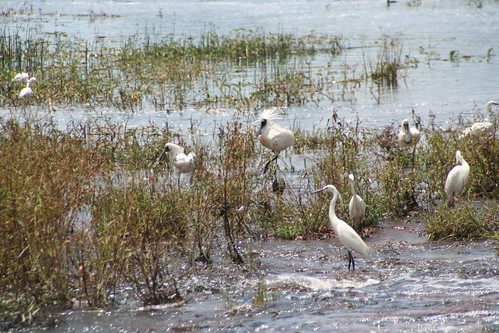 Egrets  and Royal Spoonbills Fogg Dam