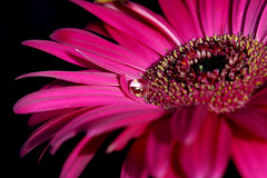 Gerbera reflections (crafty1tutu (Ann) (trying to catch up)) Tags: flowers macro nature garden supershot citrit envyofflickr ilovemypic macroaward brilliant~eye~jewels macromarvels macroflowerlovers thegoldenflower flickrofhope 100commentgroup