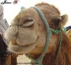 los papeles del camello! (Jimbo pht) Tags: africa sahara sand desert tunisia arena camel desierto camello tunez dromedario dromedari