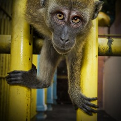 Spider Monkey in your Face (Stuck in Customs) Tags: pictures panorama lines animals work photography zoo monkey eyes nikon shoot photographer shot angle photos details perspective images edge malaysia jail pro kuala kualalumpur capture hindu malaysian kl hdr batu rabies batucaves lumpur pattes flexible highquality stuckincustoms treyratcliff