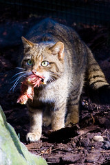 what?! i'm hungry! (Kieran Campbell) Tags: park wild cat foot scotland highlands flickr meetup wildlife chick aviemore kincraig kingussie