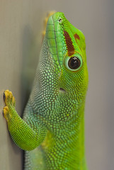 madagascar day gecko (iPhotograph) Tags: animal geotagged zoo stuttgart gecko d200 wilhelma 500d closeuplens 70200mmf28gvr tc17eii madagascardaygecko phelsumamadagascariensismadagascariensis geo:lat=4880625103382782 geo:lon=9206394714803325
