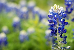 Texas Blue Bonnet