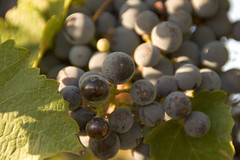 Penley Estate Wines (Image Gratification) Tags: sunrise vineyard winery grapes grapevine coonawarra winemaking australianwine penley penleyestate southaustralianwineries penleyestatewinery australianwineries penleyestatewines coonawarrawineries coonawarrasouthaustralia southaustralianwine