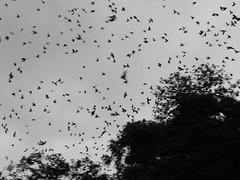 #Explore# Os pássaros (DeniSomera) Tags: pb pássaros árvores londrina revoada ospássaros meuolhar