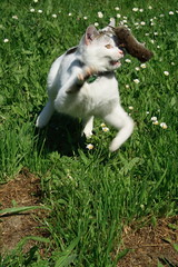 Chester having fun with his first mouse ! (baloochester(more than slow)) Tags: bestofcats brillianteyejewel baloochester