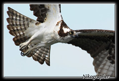 Osprey in Maine (Nikographer [Jon]) Tags: bird me birds animal animals lenstagged inflight nikon maine may nikkor 2008 osprey fishhawk d300 cascobay 80400mmf4556dvr onthewing nikond300 20080527d30026607 jss20081