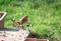 Rouge gorge familier (Mariie76) Tags: animaux oiseaux passereaux hiver rougegorge familier erithacus rubecula orange mignon petit