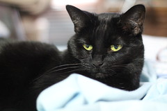 Happy Caturday (on Explore 2/12/17) (anneescott) Tags: cat pet black greeneyes happycaturday izzy blackcat