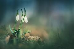 Three musketeers (Stadt_Kind) Tags: frühling spring snowdrops snowhite mostinteresting popular flickr new fullframe vollformat germany bavaria kempten stadtkind sonyfe2890macrogoss sonyalpha sony depthoffield doflicious dof bokehmasters bokehaddicts bokeh petal blüte blume flores fleur flower