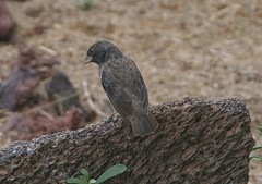 Medium ground finch_Isla Isabela (javacrat) Tags: bird nature wildlife galapagos finch isabella darwins