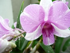 Raindrops #30 (ighosts) Tags: flowers rain garden orchids malaysia raindrops waterdrops klang