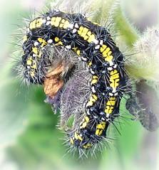 Scarlet Tiger Moth Caterpillar (Kevin Pendragon) Tags: 1001nights 1001nightsmagiccity kyn2swfd ♥ي♥belitecaterpillarsandlarvaeb♥ي♥