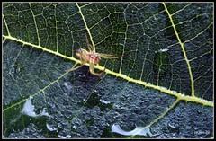 la ligne verte ... (jackline22) Tags: nature pluie goutte insecte feuille gouttes arraigne