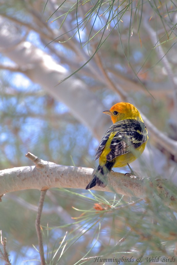 Western Tanager 052211