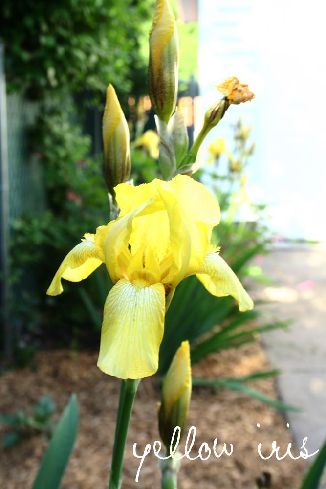 Yellow Iris from Grandma