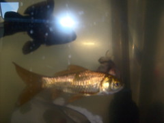 fish aquarium goldfish coldwater communityfish coldwaterfish