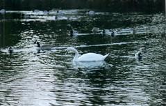 beardsley-swan (and.korn) Tags: nature minoltasrt101 beardsley