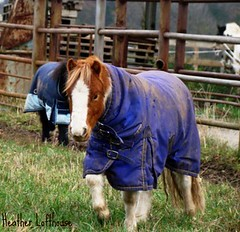 winter coats for tiny horses (Flamelillyfox) Tags: november blue winter horse cold cute pony tiny coats foal