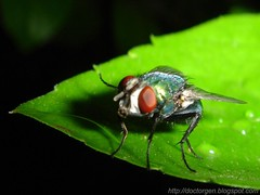 Con los pelos de punta! (DrGEN) Tags: santafe macro argentina insect fly blog yo rosario gen mundo mosca ceres insecto veo wpblog drgen