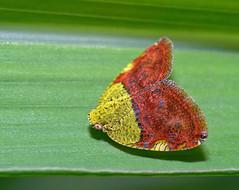 Yellow-red hopper (lenkline) Tags: macro planthopper extensiontube sbwr sungeibulohwetlandreserve singaporeflickrmeetup kenko14xtc nikon3570mmf28 011207 mmos mmosworkshopsoutings ws1shot