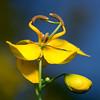 Ballerina (olvwu | 莫方) Tags: usa flower yellow night ga georgia bean yellowflower savannah naturesfinest jungpangwu oliverwu oliverjpwu olvwu jungpang 莫方 吳榮邦