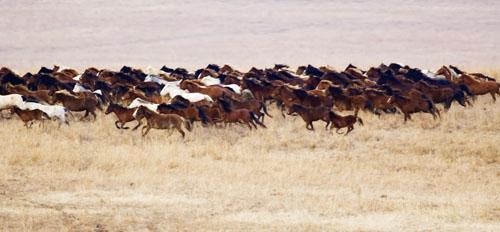 gathering mares 040