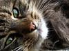 . (bass_nroll) Tags: pet green cat canon eyes quiet pussy di lovely gatto pelo puffa palla g7 mywinners goldstaraward mcb1419 lamiamiciaèbellissima