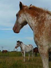 OVEROS (Erniebm) Tags: horses horse argentina caballo caballos buenosaires campo broncos pergamino potros overo lasinvernadas overos