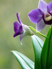 Dendrobium phalaenopsis (dolorix) Tags: plant orchid nature natur pflanze bloom dendrobium orchidee blüte dendrobiumphalaenopsis diamondclassphotographer treeofhonor