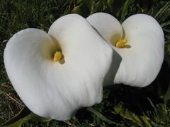Calla lily (Keta Goes Global) Tags: newzealand callalily kaikoura