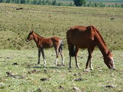 Famlia (Ronai Rocha) Tags: horse cheval caballos cavalo riograndedosul pampa campanha gaucho potro savana gachos sofranciscodeassis potrinho estepe metadesul inhanduvai