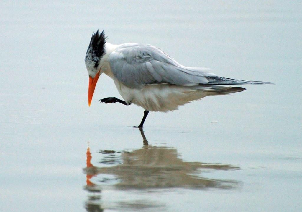 Bird - Royal Tern Photo