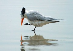 Bird - Royal Tern Photo (blmiers2) Tags: ocean travel blue sea orange white black reflection bird beach nature water beautiful birds geotagged nikon florida wildlife gray royal royaltern explore faves daytonabeach daytona tern birdwatching avian birdpics terns charadriiformes sternamaxima cotcmostfavorited wildlifephotos birdphoto sternidae birdphotos birdpic thalasseusmaximus ttcu nikond40x d40x theunforgettablepictures daytonabeachbirds blm18 blmiers2