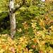Parc de Maulévrier - Arbre et feuilles