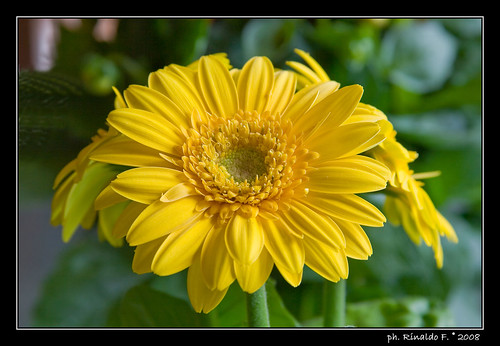 Gerbera gialla