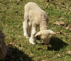 bandit's lamb 007