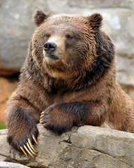 Awaiting his manicure! (ucumari) Tags: bear animal mammal zoo nikon north carolina april manicure grizzly 2008 nczoo grizzlybear d300 ucumari ucumariphotography ursushorrilibus
