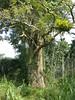 96.11.16竹崎鄉光華村茄苳風景區內的茄苳老樹DSCN3188