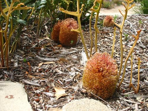 Banksia repens!