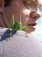 Return of the Great Green Bush-cricket
