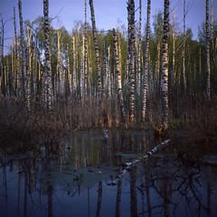 swamp sunset (Yuree M) Tags: swamp rolleiflex 6008af xenotar 80 28 fujifilm velvia 50 film epson v700 russia reversal slide 120 6x6 medium format mittel square birch forest sunset light rays backwoods reflection autaut