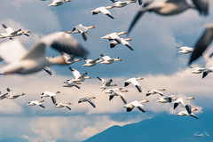 Let us fly 我要飛 (T.ye) Tags: snow geese goose bird wild wildlife mountain clouds outside outdoor