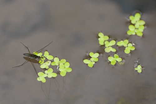 Pond Skater & Duck Weed