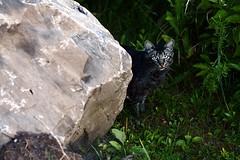 Day 290: Scruffy Stray (allankcrain) Tags: rock cat kitty stray scruffy straycat 80mmf19 mamiya80mmf19 mamiyasekor80mmf19